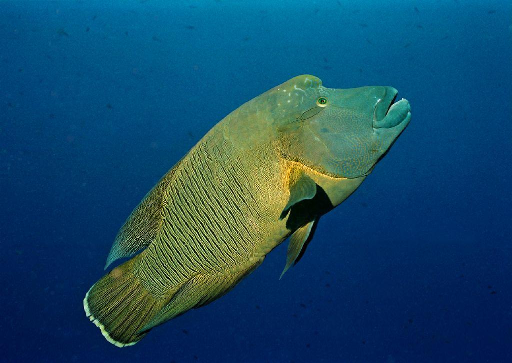 超可爱龙头鱼~ | 柠檬鲨潜水旅游